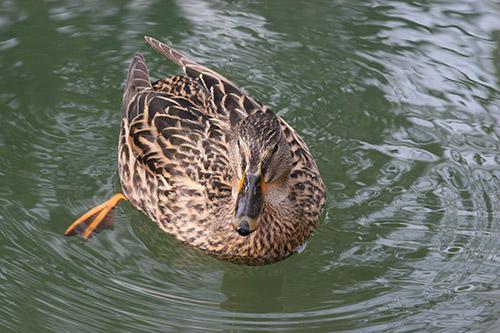 patka, duck, patkica, besplatne fotografije, free, foto, photo, freebee
