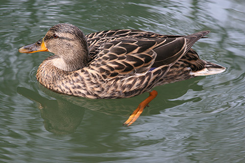 duck, patka, foto freebee, besplatne fotografije, patkica